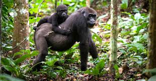 Eastern Low Land Gorillas