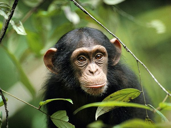 3 Days Chimpanzee Tracking in Nyungwe National Park