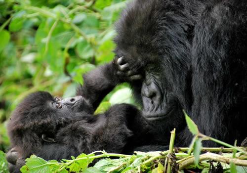 4 Days Rwanda Gorilla Trekking Safari