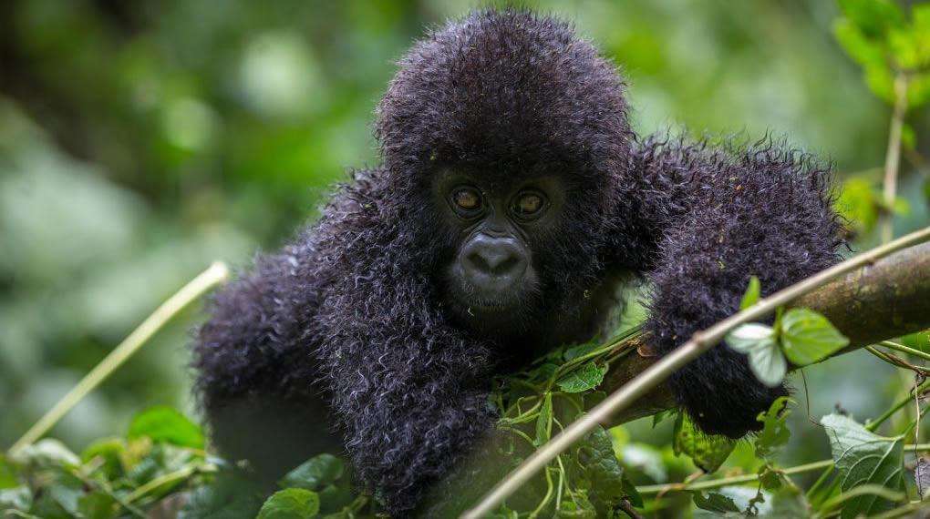 Gorilla Trekking Slider