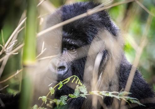 2 Days Rwanda Gorilla Tracking Safari