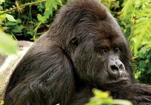 6 Days Rwanda Uganda Gorilla Trekking Safari