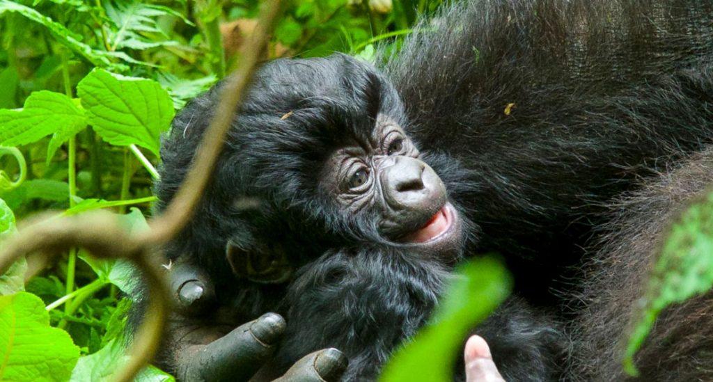 The Rwanda Gorilla Naming Ceremony