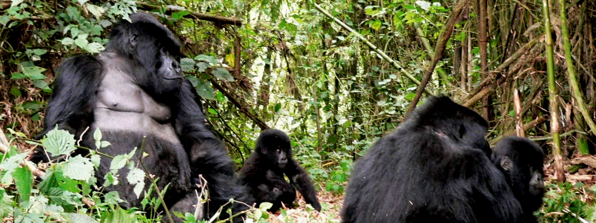 Uganda Gorilla Trekking Experience