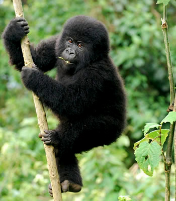 The Gorilla Trekking Experience