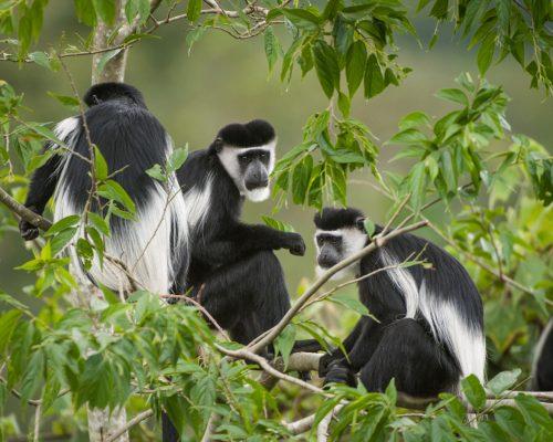 black_and_white_colobus_monkeys